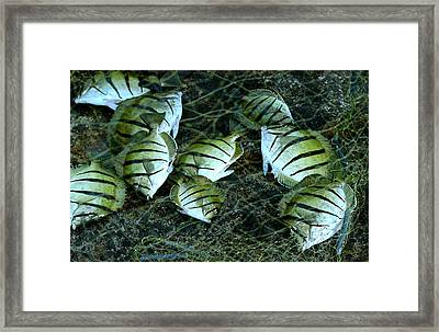 Manini Catch Framed Print by Lehua Pekelo-Stearns