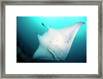 Manta Ray And Remoras Framed Print by Scubazoo/science Photo Library