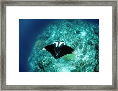 Manta Ray Framed Print by Ethan Daniels