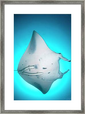 Manta Ray In Open Ocean Framed Print by Scubazoo