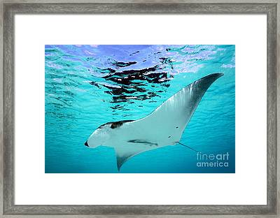 Manta Ray Framed Print by Isabelle Kuehn