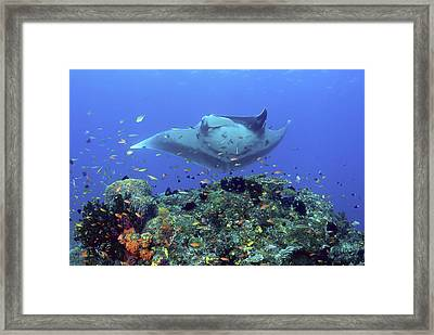 Manta Ray (manta Birostris Framed Print by Jaynes Gallery