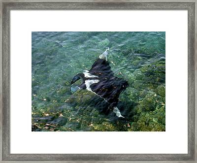 Manta Ray (manta Birostris Framed Print by Miva Stock