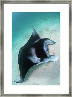 Manta Ray Resting On Sand Framed Print by Scubazoo