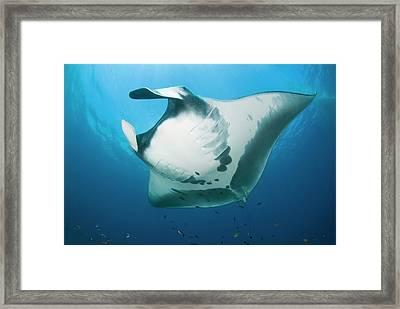 Manta Ray's (manta Birostris Framed Print by Jaynes Gallery
