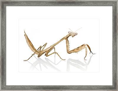 Mantid Gorongosa Mozambique Framed Print by Piotr Naskrecki