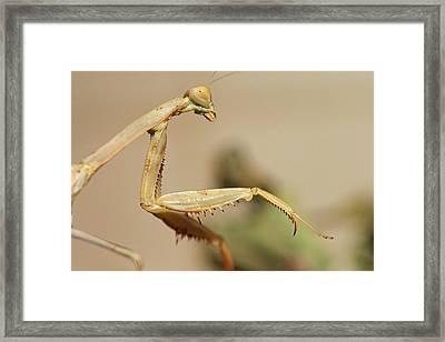 Mantis On The Hunt Framed Print by Shoal Hollingsworth