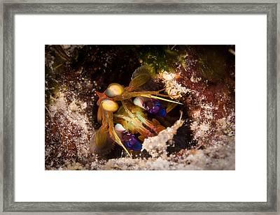 Mantis Shrimp Framed Print