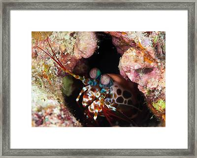 Mantis Shrimp On A Reef Framed Print by Louise Murray