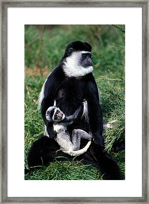 Mantled Guereza Monkey Colobus Guereza Framed Print by Gerard Lacz