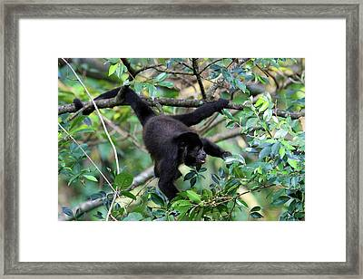 Mantled Howler Monkey (alouatta Palliata Framed Print by Miva Stock