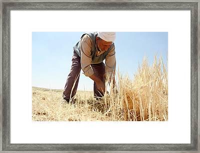 Manual Wheat Harvesting Framed Print by Photostock-israel