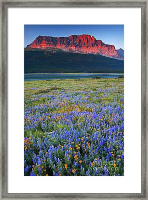 Many Glacier Morning  Framed Print by Aaron Whittemore