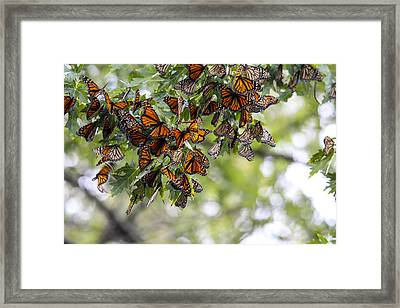 Many Migrant Monarchs Framed Print