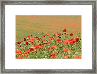 Many Poppies Framed Print by Anne Gilbert