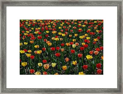 Many Tulips Framed Print by Raymond Salani III