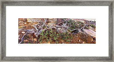 Manzanita Clings To Life Framed Print by Panoramic Images