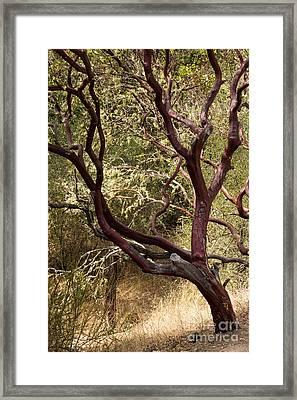Manzanita Tree Framed Print