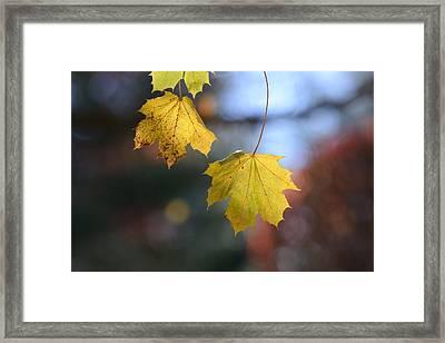Maple 18 Framed Print