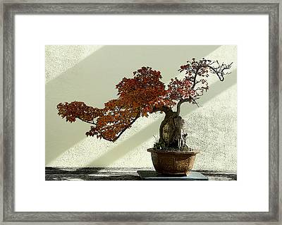 Maple Bonsai Framed Print
