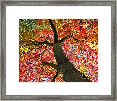 Maple In Autumn Glory Framed Print