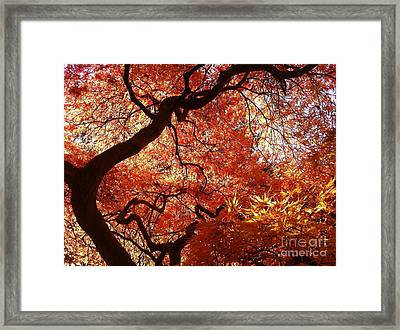 Maple In Fall Framed Print