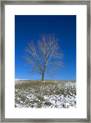 Maple In Winter Framed Print