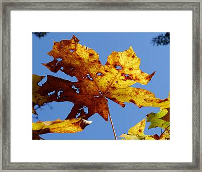 Maple Leaf On A Blue Sky Framed Print