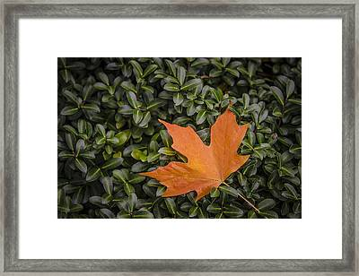 Maple Leaf On Boxwood Framed Print by Bradley Clay