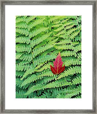 Framed Print featuring the photograph Maple Leaf On Ferns by Alan L Graham