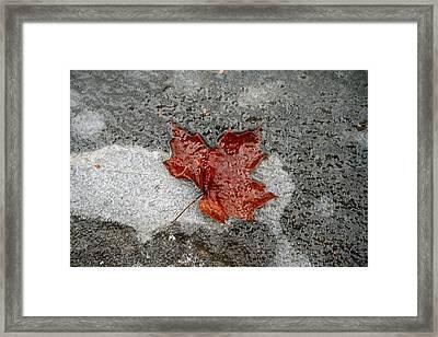 Maple Leaf Under Ice Framed Print by Carolyn Reinhart