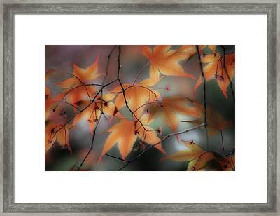 Maple Leaves 2 Framed Print