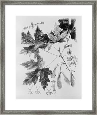Maple Leaves And Seeds Framed Print by Granger