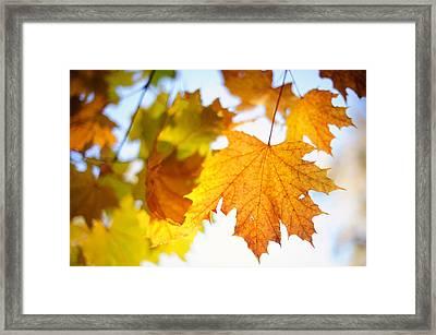 Maple Leaves Aquarel Framed Print