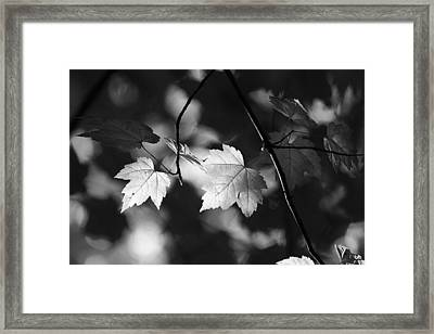 Maple Leaves In Black And White Framed Print