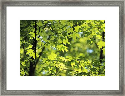 Maple Leaves In Spring Framed Print
