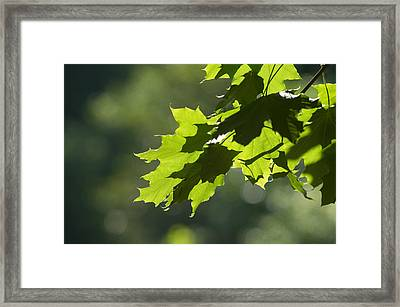 Maple Leaves In Summer Framed Print