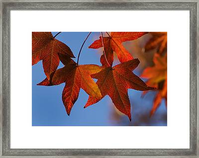 Maple Leaves In The Fall Framed Print by Stephen Anderson