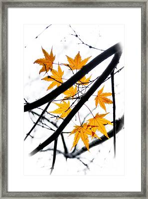 Maple Leaves Framed Print by Jonathan Nguyen