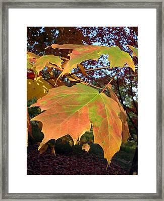Maple Leaves Framed Print by Michel Mata