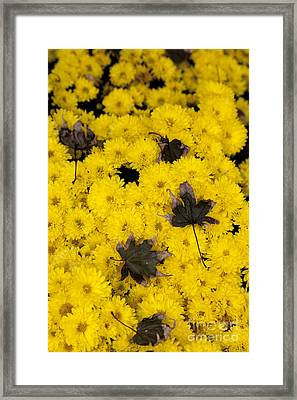 Maple Leaves On Chrysanthemum Framed Print by William Kuta