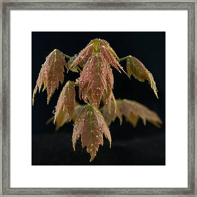 Maple Leaves With Water Drops Framed Print