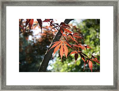 Maple On Pine Framed Print by Paul Cammarata