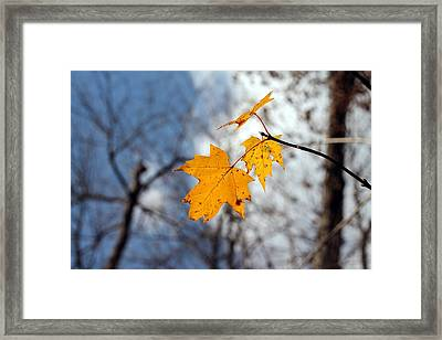 Maple On The Blue Framed Print