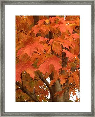 Maple Orange Framed Print