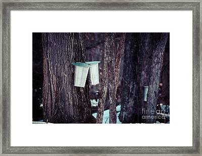 Maple Sap Framed Print by Cheryl Baxter