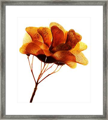 Maple Seed Pod Cluster Framed Print