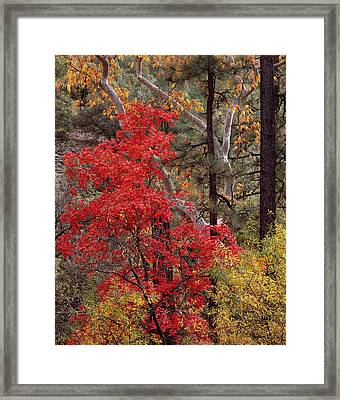 Maple Sycamore Pine Framed Print