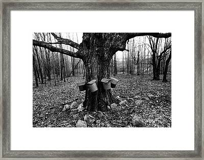 Maple Syrup Collection Framed Print by Bedrich Grunzweig