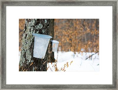 Maple Syrup Time Framed Print by Cheryl Baxter